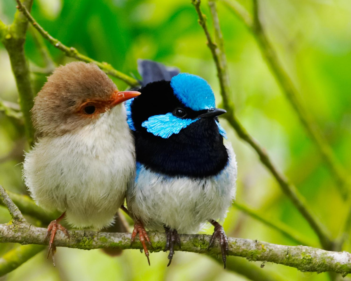 Lovers.  A pair of superb fairy wrens.  Actually they were in an extended family group with more than one female and several immature adults.  The male got a lot of attention.  He didn't seem to mind