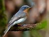 Female Leaden Flycatcher