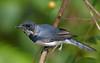 Immature male Leaden Flycatcher