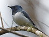 Male Leaden Flycatcher