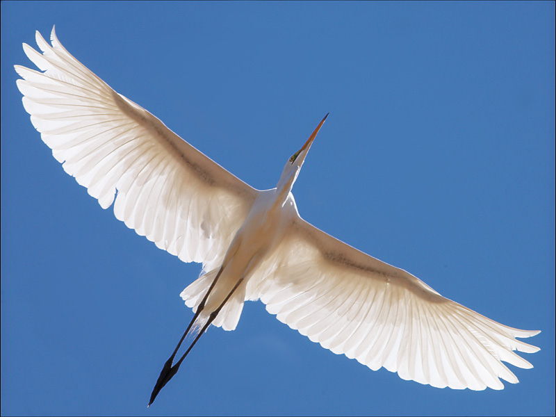 Great Egret, Kimberly