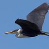Crested Heron