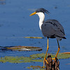 Crested Heron, Ord River