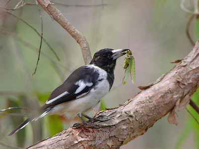 Magpies and Butcher Birds and Ravens