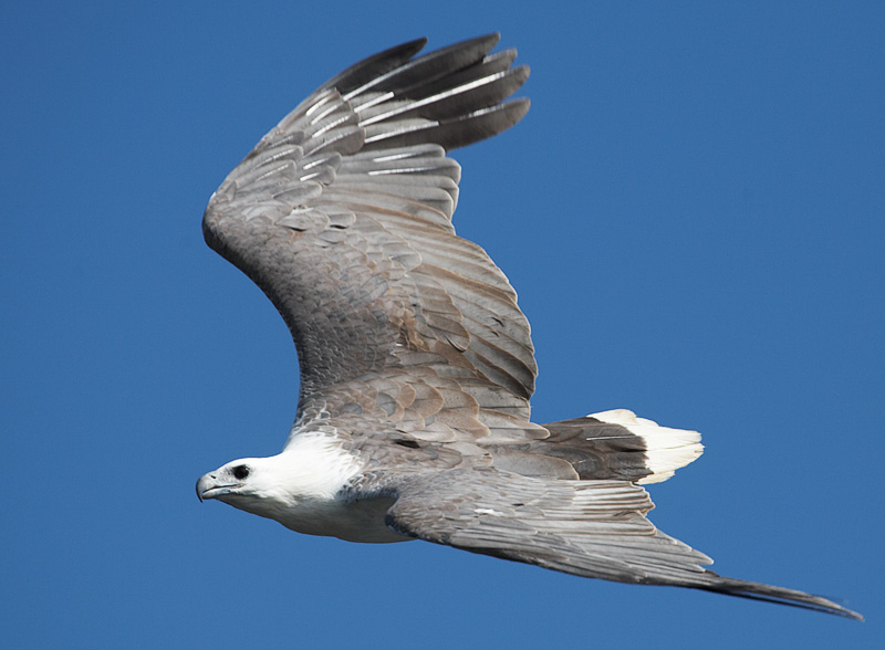 White-breasted sea eagle, Mallacoota, East Gippsland