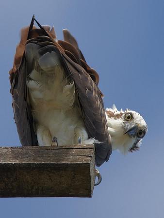 Osprey and Sea Eagle