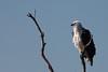 White-breasted sea eagle