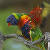 Rainbow lorikeet, Melbourne