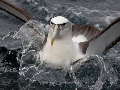 Terns, Gulls and Albatross