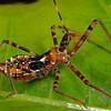 Assassin Bug, Tara Ridge, Nov 2009