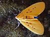 Yellow Tiger Moth (Agape chloropyga).  Taken at home in July 2011