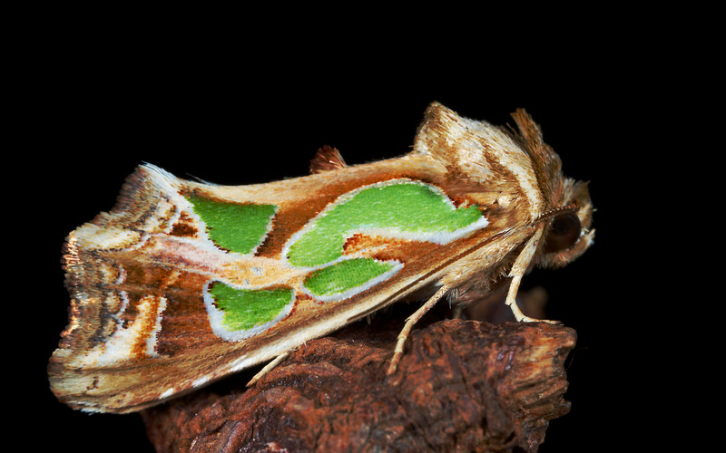 Green Blotched Moth. Cosmodes elegans<br />  I love the 3D effect these patterns have on the flay wings.