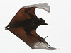 Black Flying Fox with baby