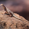 Tata lizard, Kimberly