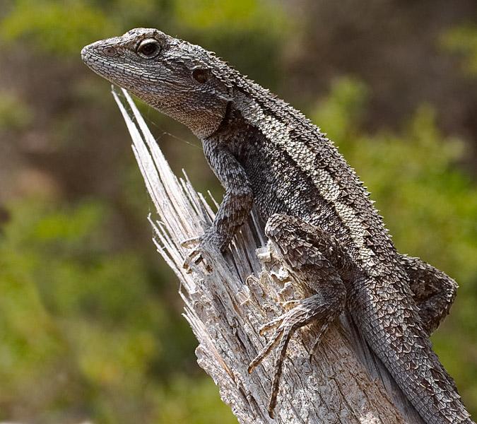 Dusky dragon, Melbourne