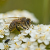 Honey Bee on White Yarrow