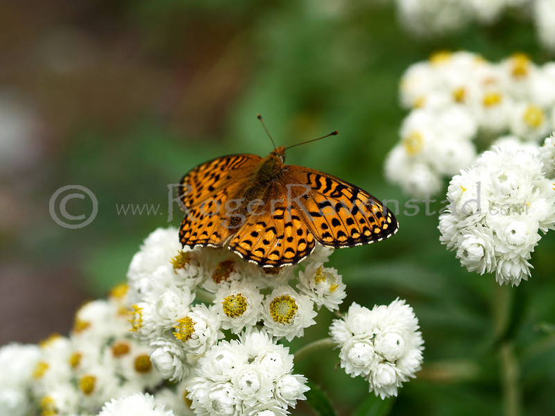 FRITILLARY BUTTERFLY AT AVALANCHE LAKE