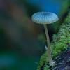 Mycena cyanocephala