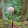 Marasmius being consumed by another fungi