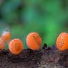 Cookeina tricholoma