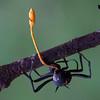 Ophiocordiceps formicarum