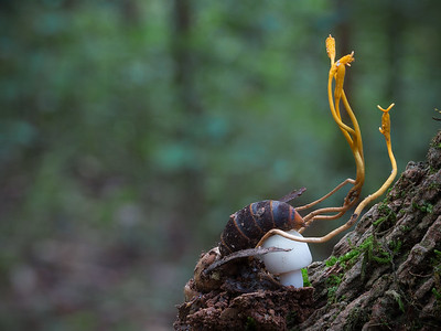 Insect eating fungi