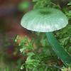 Hygrocybe graminicolor
