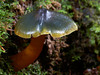 Hygrocybe arcohastata, Montezuma Falls Track, Tasmania