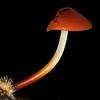 Marasmius elegans or the Velvet Parachute