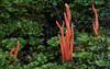 Flame Fungus, Clavaria miniata, Franklin River Reserve, Tasmania
