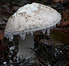 Amanita amaniceps.  Bunyip State Forest, Victoria