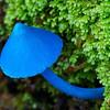 Sky blue mushroom.  Entoloma Hochstetteri, Fox Glacier, New Zealand