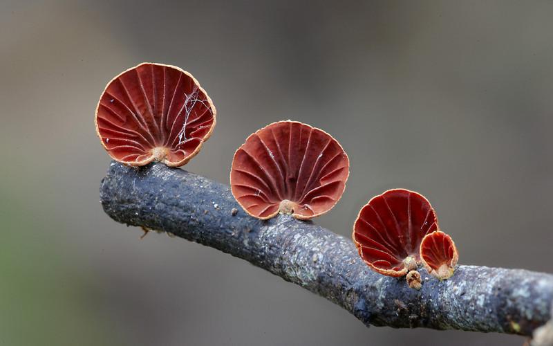 Anthracophyllum archeri