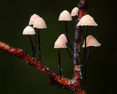 Marasmius sect. Sicci
