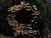 Mushroom garland, Tasmania