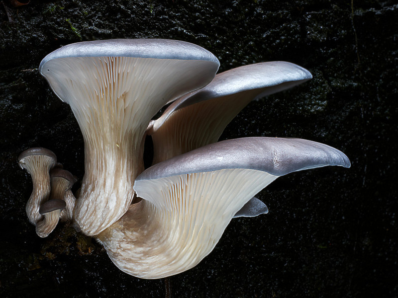 Pleurotus purpurea-olivaceus