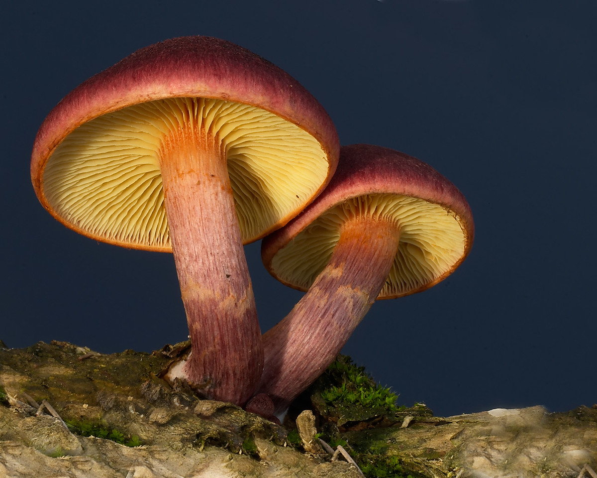 Possibly Gymnopilus purpuratus, Perth, Western Australia