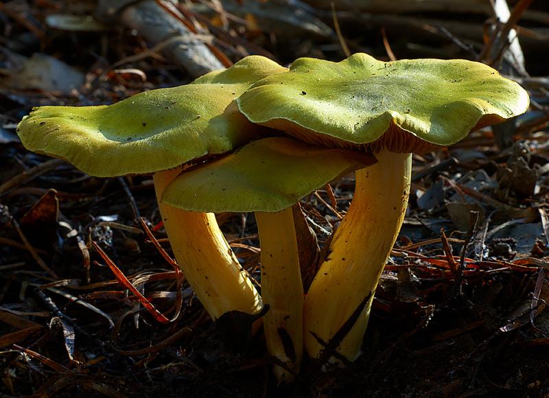 Green skinhead.  Dermocybe austroveneta, East Gippsland, Victoria