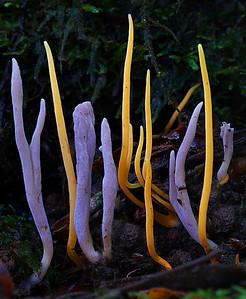 Coral fungi