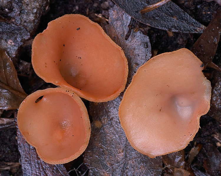 Orange cups, Sarcoscypha coccinea, Victoria