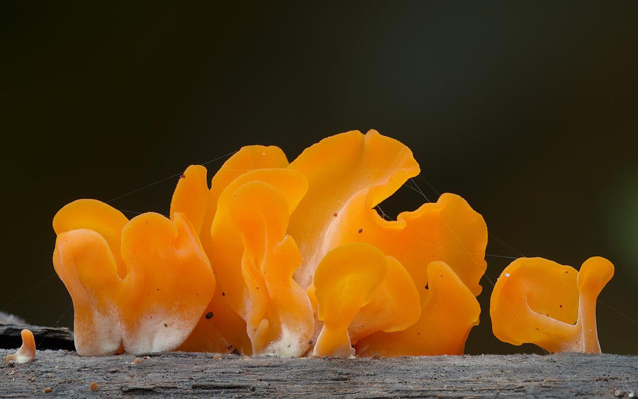 Dacryopinax spathularia
