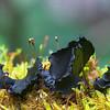 Cordierites frondosa , Mt Macedon, Vic