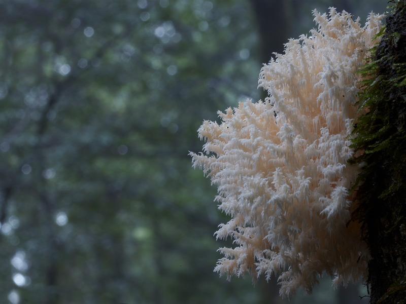 Hericium coralloides