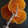 Crinipellis aff. canescens