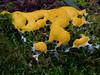 Fuligo septica , Dog's vomit, Victoria