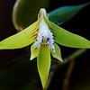 Dagger Orchid