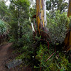 The Pandana Forest, Mt Field NP, Tasmania