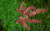 Filmy Maidenhair Fern (Adiantum diaphanum).  New growth.  This is an Australian native.