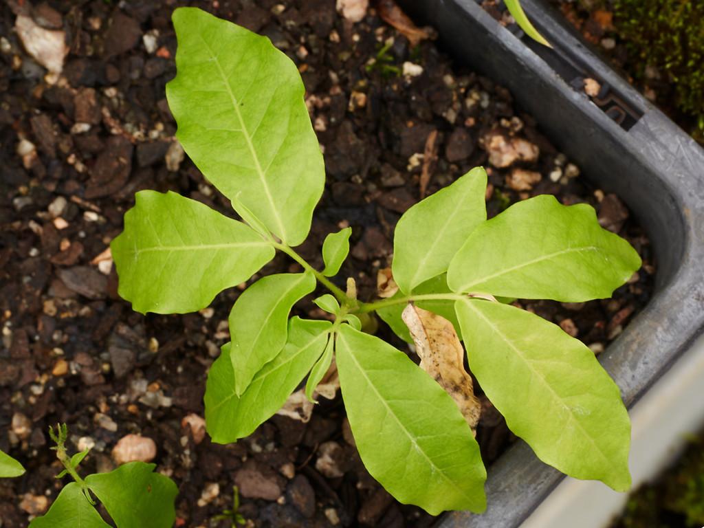 Harpulia pendula (Tulipwood)
