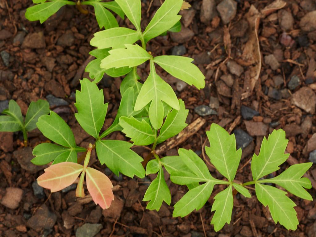 Cupaniopsis parvifolia (Small-leaved Tuckeroo)